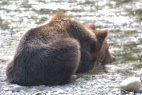 Campbell River Grizzly Bear Tours